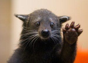 bearcat_wave